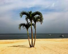 Bayville, NY (pepsigirl917) Tags: palm tree sand cloudy morning newyork ny bayville beach