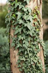 One hour with a macro (Helen C Photography) Tags: macro nikon 105mm adelaide southaustralia sa nature plants tree ivy green