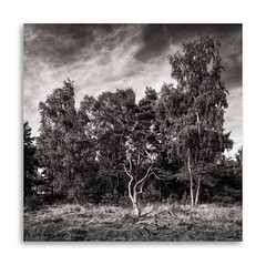 Standing Out (David Jonck) Tags: davidjonck framed landscape standingout bnw treemagic blackwhite belgië pce treescape nikon meeuwengruitrode natuurpunt natuur limburgslandschap plokrooi limburg nature belgium tree tiltshift blackandwhite d850 bw 24mm vlaanderen landschap