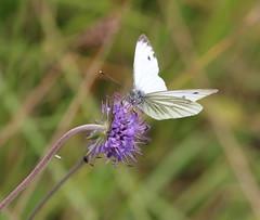 Green-veined White male (themadbirdlady) Tags: devilsbitscabious greenveinedwhite pierisnapi butterfly sheriffmuirinnnn8202