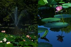MMM Water (Carrie McGann) Tags: hmmm mosaicmontagemonday mosaic montage water fountain lotus flower williamlandpark sacramento 082018 nikon nikond850 interesting