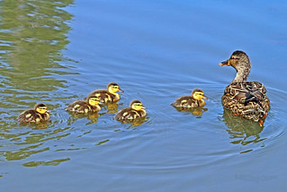 Mallard Hen And Ducklings 18-0515-8258