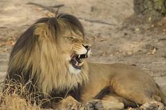 Leeuw - Safaripark Beekse Bergen - Hilvarenbeek (Jan de Neijs Photography) Tags: dierentuin zoo tamron tamron150600 150600 dierenpark nl holland thenetherlands dieniederlande utrecht diergaarde g2 animal dier beeksebergen safaripark safariparkbeeksebergen hilvarenbeek pantheraleo sbb lion king thelionking