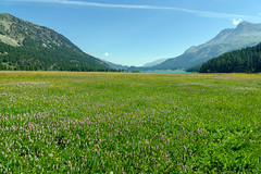 Alpine Spring (Bephep2010) Tags: 2017 77 alpen alpha berg engadin frühling graubünden grisons himmel lakesilvaplana landschaft lejdasilvaplauna sal1650f28 slta77v schweiz see silsimengadin silvaplanersee sony switzerland wald wasser alps forest lake landscape mountain sky spring water ch meadow wiese blühend blooming