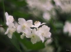 P6210020 (yaros66) Tags: achromat softfocus garden flowers trees