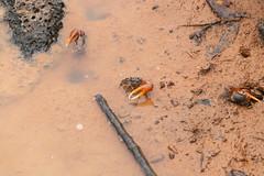 The Great Battle (Rim de Haan) Tags: fiddlercrabs galapagosfiddlercrabs galápagosfiddlercrabs ecuador galápagos galapagos crab huntingcrabs cangrejo gala
