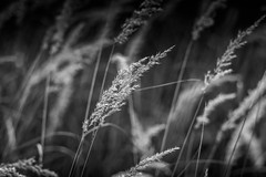 Grass (mellting) Tags: eskilstuna nikond500 platser sigma1506005063sport vilsta bloggad flickr instagram matsellting mellting nikon sverige sweden grass monochrome blackandwhite bnw