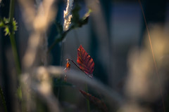 IMG_7611 (J. Adams.) Tags: leaf leaves fall autumn summer orange red dying dead nature outside outdoors warm hot sun sunset eve evening green uk england canon 6d 6dmkii 6dmk2 6dmarkii 6dmark2 50mm 5018