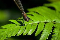 アサヒナカワトンボ Mnais pruinosa (takapata) Tags: sony sel90m28g ilce7m2 macro nature dragonfly damselfly insect