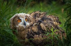 Siberian Eurasian Eagle Owl (hey its k) Tags: 2018 baby birds canadianraptorconservancy captive eurasianeagleowl nature ontario owl vittoria wildlife canada ca img2388 canon6d