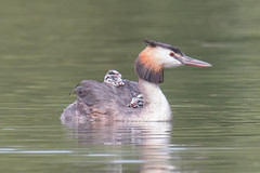 Shelter (Andrew_Leggett) Tags: greatcrestedgrebe podicepscristatus waterbird water august chick offspring hitchingaride hitchhiker nature natural wild wildlife young humbugs humbug grebe bird summer