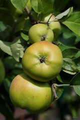 fruchtig / fruity (3) (Ellenore56) Tags: 06082018 apfel äpfel apfelbaum frucht fruit apple apples appletree fruity fructify obst kernobst apfelsorte kindofappel goldendelicious süs saftig aromatisch gelberköstlicher sweet juicy aromatic deliciouse botanik botanical garten garden natur nature flora pflanzenwelt detail moment augenblick sichtweise perception perspektive perspective reflektion reflection reflexion farbe color colour licht light inspiration imagination faszination magic sonyslta77 ellenore56