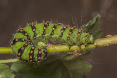 _IMG9048 Emperor Moth Saturnia pavonia Caterpillar (Pete.L .Hawkins Photography) Tags: petehawkins petelhawkinsphotography petelhawkins petehawkinsphotography pentax 100mm macro pentaxpictures pentaxk1 petehawkinsphotographycom fantasticnature fabulousnature incrediblenature naturephoto wildlifephoto wildlifephotographer naturesfinest unusualcreature naturewatcher insect invertebrate bug 6legs compound eyes creepy crawly uglybug bugeyes fly wings eye veins flyingbug flying beetle shell elytra ground emperor moth saturnia pavonia caterpillar