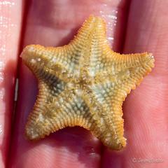Underside Tiny Starfish (JKmedia) Tags: boultonphotography 2018 coastal devon wembury uk minute starfish tiny hand macro closeup