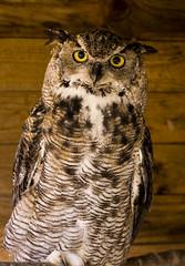 Great Horned Owl (Greywolf907) Tags: bird owl horned feathers eyes nocturnal birdofprey nikon d7100 norfolk nikkor1755mm