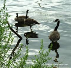 Geese in Water (cordeliasmom2012) Tags: canadiangeese geese water waterfowl