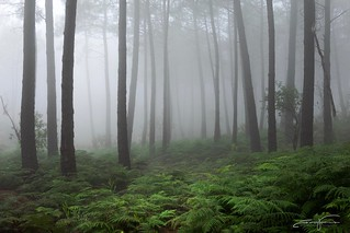 Pines, Ferns and Mist