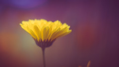 Marigold (Dhina A) Tags: sony a7rii ilce7rm2 a7r2 a7r eltan elite optics 90mm f22 eltaneliteoptics90mmf22 35mm slide projection projector lens bokeh marigold wildflower