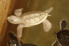 """""""La seule tortue albinos du centre! Âgée de 5 jours seulement."""" - Hortense (infoglobalong) Tags: écovolontariat bénévolat animalier protection tortues marines volontaire international asie srilanka"""