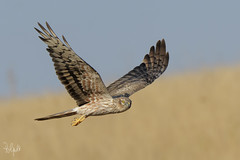 Albanella Minore (Polpi68) Tags: albanella circus falco falcon nature bird birds birdwatching uccello wildlife wild nikon d500