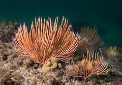 Southern sea fan Sphaerokodisis australis #marineexplorer (Marine Explorer) Tags: scuba nature marine underwater australia marineexplorer