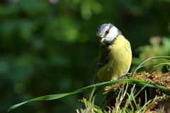 Blue tit (david.england18) Tags: bluetit smallbirds great blue coal various tits park summer canon7dmkll birdsuk
