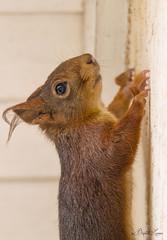 Cascadeur (baptiste.lasnier) Tags: écureuil roux mammifère poil house cascadeur rencontre pose portrait animal regard pattes oeil mur façade