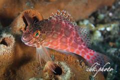 Mug Diving Kubu Tulamben Bali (chk.photo) Tags: diving scuba underwater dive macro ocean tauchen indonesia animal tier bali fish