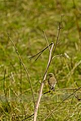 Juvenile Wheatear (ianbartlett) Tags: outdoor macro landscape wildlife nature birds butterflies dragonflies cattle flight flowers colour light shadows clouds