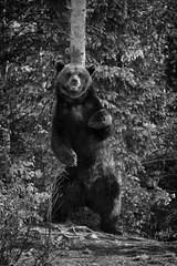 Braunbär (zanettifoto) Tags: finnland baum koillismaa braunbaerursusarctos morgen schwarzweissfotografie kuusamo wald morgensonne grashalm sommer sumpf fin