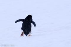 Pingüino (robertopastor) Tags: antarctica antarctique antarktika antartic antártida fuji robertopastor xt2 xf14xtc xf100400 aq