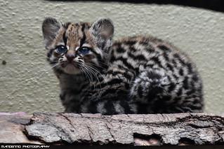 Margay cub - Zoo Jihlava