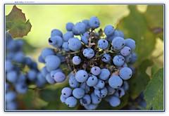 blueberries at Pageant Park, Bend, Oregon (MEA Images) Tags: blueberries nature parks pageantpark bend oregon canon picmonkey