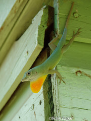 Jamaican giant anole (brian eagar - very busy - not much time to comment) Tags: herp reptile lizard anole jamaica wild wildlife nature jamaicawildlife jamaicanature jamaicangiantanole anolisgarmani