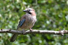 Jay on look out duty... (karen leah) Tags: jay bird nature outdoors wildlife august summer staffordshire closeup