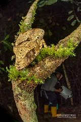 Satanic leaf-tailed gecko (Uroplatus phantasticus) - DSC_7660 (nickybay) Tags: macro africa madagascar andasibe voimma uroplatus phantasticus satanic leaftailed gecko leaf tailed gekkonidae cctv fisheye wideangle