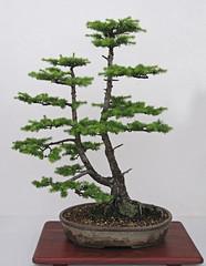 Larch Bonsai RWS 2018 (Lark Ascending) Tags: conifer bonsai tree pot royalwelshshow2018 plant larch