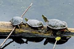 Turtle Relay Race (Rivers, Lakes & Nature) Tags: painted turtle nature pond lake water stick log woodslake minnesota summer nikon sigma