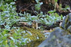 American Pika (Zach Hawn) Tags: alpinewildlife wildlife animal alpine nature mountrainiernationalpark mora mrnp nps nationalparkservice findyourpark pacificnorthwest pnw wander hiking trail mountains cometfalls mildredpoint adventure citizenscience research biology science outdoors