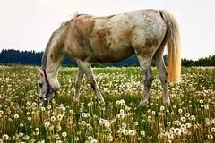 Dirty horse (Yirka51) Tags: rein bridle wood tree summer plant pasture nature meadow landscape hungry horse grass forest food flower flora field fauna farming dirty dandelion countryside country bush appetite agriculture