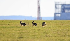 Hare trio. (pstone646) Tags: hares nature wildlife animals chase mammals elmley kent running fauna trio three conejos