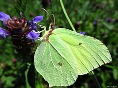 Butterfly 1710 (+1300000 views!) Tags: butterfly borboleta farfalla mariposa papillon schmetterling فراشة