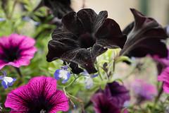 Deep Purple Petunia (David S Wilson) Tags: 2018 panasonicdmcgx80 england flowers floral ely lumixgvariox281235mm lightroom davidswilson