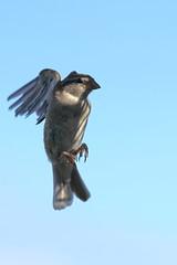 Pinson A7306253_DxO (jackez2010) Tags: ilce7m3 fe100400mmf4556gmoss bif birdinflight pinsondesarbres