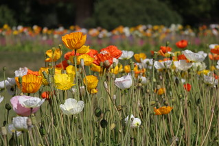 Amapolas (Poppies)