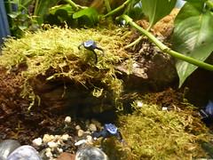 Poison Frogs Reptile Gardens Rapid City South Dakota (MisterQque) Tags: reptilegardens southdakota dakotas rapidcitysd blackhills frog poisonfrog
