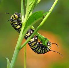 Monarch caterpillar - 3 days ago (Vicki's Nature) Tags: monarch caterpillar butterfly upsidedown milkweed plant green orange bokeh zinnia yard georgia vickisnature canon s5 8520