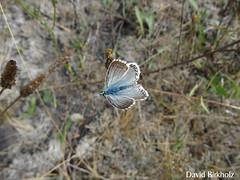 Azuré (david´s74) Tags: papillon