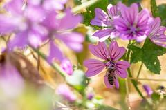 Pink Bee (oandrews) Tags: 30dayswild apismellifera bee bees canon canon70d canonuk fen fenland greatfen holmefen honeybee insect insects invertebrate invertebrates minibeast minibeasts naturalengland nature naturereserve outdoors wildlife wildlifetrusts wildlifebcn holme england unitedkingdom gb
