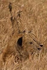 Lion Cubs (sr667) Tags: mungeriverkaratutanzania karatu tanzania animalia chordata mammalia carnivora feliformia felidae pantherinae panthera ngorongoroconservationarea ngorongorocraterrim ngorongoro lion cubs